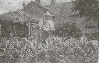 Charles looking after his tobbaco patch | Wickford Times 1949