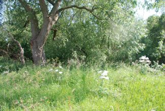 One of the old willows that surround the pond | Ian Mott 14 June 2011