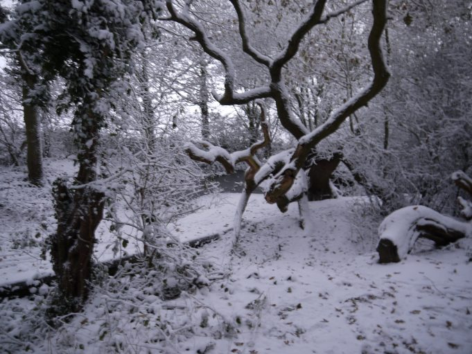 Fallen Oak Tree, near the boundary of Lincewood and Hall Wood, Langdon Hills