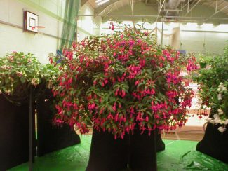 History of South East Essex Fuchsia Fellowship of Laindon. | Charlie Clark