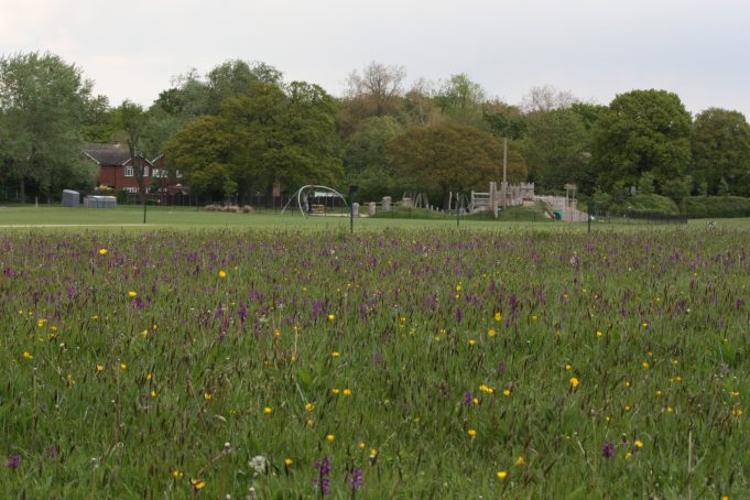 Thousands of Green Veined Orchids in the cricket out-field at Berry Lane Recreation Ground - 25th May 2013