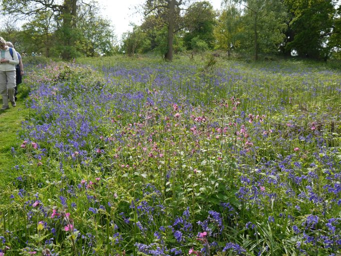 Bluebell time 2017