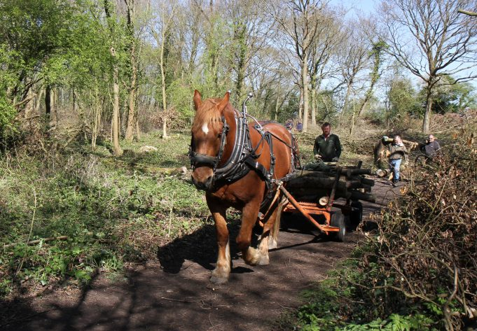 Roy, the Suffolk Punch, hauling logs out from Willow Park. | Colin Humphrey