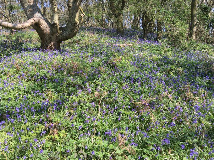 Lincewood Bluebells - Ken Porter photograph